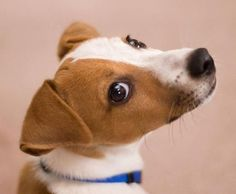 These Goofy Jack Russell Terriers are About to Make Your Day. Rat Terriers, Terrier Dogs, Cute Puppies, Cute Dogs, Maltese Puppies, Baby Animals, Cute Animals, Jack Russell Puppies, Cutest Animals