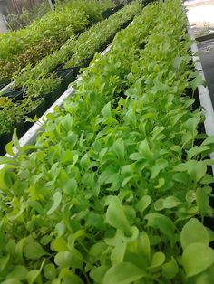 Growing #healthy #cooking #microgreens is all we do. #american #culinary #federation