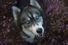 I Rescued A Husky And Later He Saved Me From An Abusive Relationship | Bored Panda