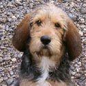 otterhound dog | Top Small Dog Breeds...