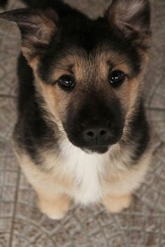 Dog germen shepherd how can you say no to this little pup
