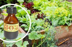 ОДНА КАПЛЯ ЙОДА, И ВЫ НЕ УЗНАЕТЕ СВОЙ ОГОРОД! ПРОТИВ ФИТОФТОРОЗА, МУЧНИСТОЙ РОСЫ И ВРЕДИТЕЛЕЙ – БУДЬ В ТЕМЕ Plantar, Farm Gardens, Pest Control, Herb Garden, Hot Sauce Bottles, Organic Gardening, Herbs, Outdoor, Youtube