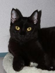 Howard is an adoptable Domestic Short Hair-Black Cat in New Rochelle, NY. Howard was rescued from a truck engine at the local Chevy Dealership. Perhaps he was trying to hitch a ride home? This sweet 1...