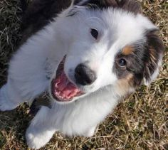Pixel is a spunky Aussie puppy who loves to play! When she's not trying to make new a friend at the park, she is all cuddles and puppy kisses. She is a fast learner that is constantly on a search for what mischief she can get into. This little bundle of fur is my little buddy, and is always there for a laugh and a smile!