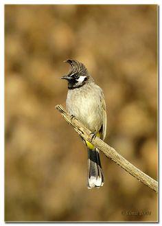 Himalayan Bulbul - Pycnonotus leucogenys