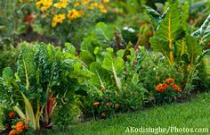 Growing Swiss Chard In Your Edible Landscape