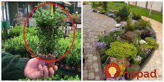 V záhradách ho mali už Rimania a dokonca zdobil aj nádvoria v Starovekom Egypte. Toto je dôvod, prečo by nemal chýbať ani vo vašej záhrade.