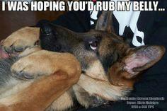 I was hoping you'd rub my belly... http://www.sweetshepherdrescue.com.au/