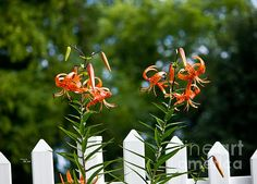 Lilium Distichum Twins - Available in prints, framed prints, canvas prints, acrylic prints, metal prints, greeting cards.