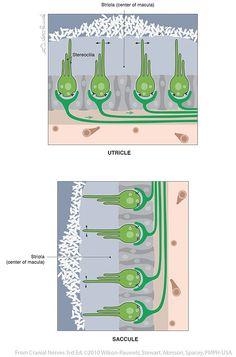 Vestibulocochlear VIII - Cranial Nerves Cranial Nerve 8, Vestibular System, Neurons, Anatomy And Physiology, Vertigo, Biology, Disorders, Psychology, Nerd Stuff
