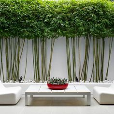 bamboo planters * bamboo plant ` bamboo plant indoor ` bamboo plant care ` bamboo plant outdoor ` bamboo planters ` bamboo planters for privacy ` bamboo plant decor ` bamboo plant stand Bamboo Hedge, Bamboo Planter, Bamboo Tree, Bamboo Garden, Bamboo Screen Fence, Outdoor Bamboo Plants, Potted Bamboo, Indoor Bamboo, Privacy Trees