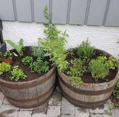Urter i krukke for høsting hele sommeren.