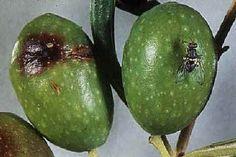 Danni portati dalla mosca dell'ulivo