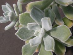 Echeveria pulvinata Frosty 1.jpg