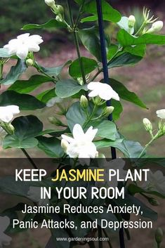 Keep Jasmine Plant in Your Room. Jasmine Can Reduce Anxiety, Panic Attacks, and Depression Types Of Flowers, Types Of Plants, Top Flowers, Container Gardening, Gardening Tips, Indoor Gardening, Vegetable Gardening, Jasmine Plant Indoor, Flower Pot Design