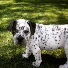 <strong>Bulldog + Dalmatian = Bullmation</strong> — GENIUS. #BullmationNation, WHO'S WITH ME?