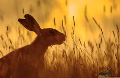 Hare by james morris on John 16 24, Brother Photos, Rabbit Crafts, Wild Rabbit, March Hare, Mammals, Fairy Tales, Creatures, Drawings