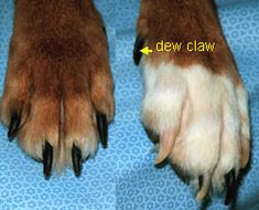 How to trim a dog's nails step-by step article with pictures.  Includes instructions on clipping dark nails, always a scary thing for me since I don't want to hurt my doggies.