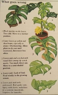 Zimmerpflanzen Monstera Probleme # Monstera # Probleme Choosing A Nursery Theme For Your Baby Articl