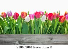 Free art print of Spring tulips flowers. Spring tulips flowers with copy space for your message | FreeArt | fa18652064