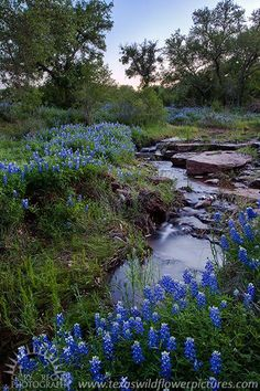 """BLUEBONNET CREEK"" Mason County, Texas I can't wait for Spring ~ hoping we get a lot of rain. #Wildflowers"