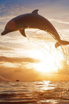 dolphin over the sea at sunset