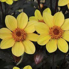 Dahlia Happy Party (5 Premium Plants)