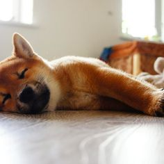 Вялое воскресенье  #shibainu Paw Prints, Shiba Inu, Bambi, Tired, Corgi, Puppies, Friends, Cute, Animals