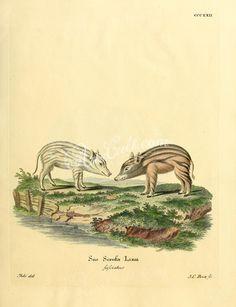 Wild boar, 3      ...