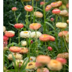 Buy Helichrysum bracteatum 'Salmon Rose' from Sarah Raven: All the Strawflowers are fashionable with florists at the moment and this is the best of them. Home Flowers, Summer Flowers, Cut Flowers, Dried Flowers, Fresh Flowers, Silk Flowers, Australian Native Flowers, Australian Garden, Cut Flower Garden