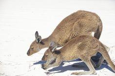 Kangaroos on Beach, Lucky Bay WA
