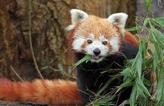 kleine panda Antwerpen IMG_0603 | Flickr - Photo Sharing!
