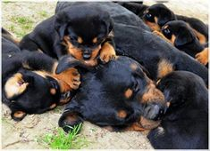 lots and lots of Rotties!!