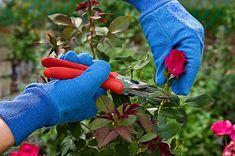 rose_pruning1.jpg (424×282)