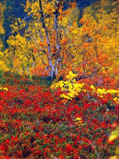 "Fall colors, ""ruska"", in Lapland (Lappi), where the colors are most vivid. Lappland, Lapland Finland, Nature Music, Baltic Sea, Amazing Nature, Life Is Beautiful, Norway, Places To See, Natural Beauty"