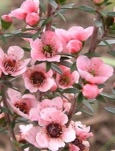 tea blossoms | tea tree blossoms | blossoms