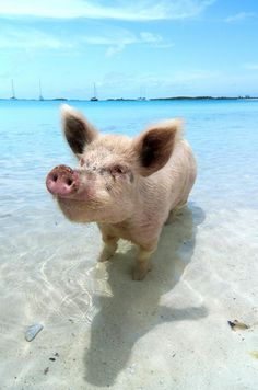 cute beach pig :)    apparently they do fly....how else did he get here? LOL!!
