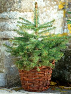 How to Care for Your Living Christmas Tree>>  http://www.hgtv.com/gardening/how-to-care-for-your-living-christmas-tree/index.html?soc=pinterest