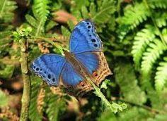 mariposas exoticas - Google Търсене