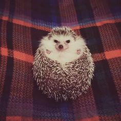 This Instagram account dedicated to the world's sweetest hedgehog. | 11 Little…