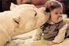 Dogo Argentino; I want one someday!