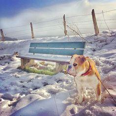 WEBSTA @ insomnia_maja - Codziennie wypatruje wiosny 🕵🌱🌿🕊☀️ #connex_star #continentalbulldog #bulldoglife #bullyofinstagram #bulldogsofinstagram #happydog #lüdenscheid #winter #woistfrühling #flatnosedogsociety #igbulldogs_germany #igbulldogs_worldwide #igbullyfamily #bulldoglove