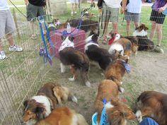 Shelties looking for their forever home!  www.houstonsheltiesanctuary.com