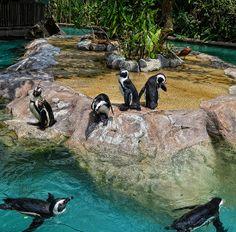 African penguin can be seen in Jurong Bird Park