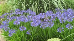 Image result for agapanthus peter pan
