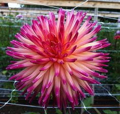 Dahlia 'Kari Fruit Salad'