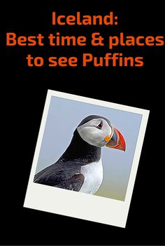 Iceland - Best time and places to see puffins - in the most more best time and best places: northern lights, whales, ice caves, lupins and more