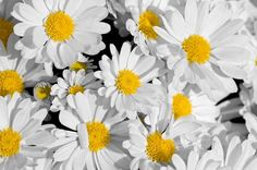 Google Image Result for http://images.fineartamerica.com/images-medium/pretty-daisies-mary-lane.jpg