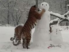 Lots of photo writing prompt opportunities  ex: tigers play with snowmen