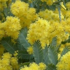 Golden Mimosa Acacia baileyana - my great grandfather named this. How beautiful..